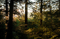 Sunrise in a mature old growth hemlock forest in the Huron Mountains near Marquette Michigan.