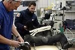 Foto: VidiPhoto<br /> <br /> ARNHEM - Urologen van het Rijnstate ziekenhuis in Arnhem, hebben vrijdag in samenwerking met dierenarts Henk Luten van Burgers' Zoo een sterilisatie bij een mensaap ongedaan gemaakt. De chimpanseeman Fons (41) werd in 2002 ontmand. Indertijd werd gedacht dat Fons niet raszuiver was, maar met de huidige DNA-technieken is ontdekt dat de gesteriliseerde chimp wel degelijk tot de Westelijke ondersoort behoort waarmee Burgers' Zoo wil fokken. Nageslacht van Fons is daarom zeer wenselijk, temeer omdat hij na de operatie -als die slaagt; en dat wordt pas duidelijk als er een vrouwtje zwanger raakt- de enige fokman is. Uniek is dat de operatie wordt uitgevoerd door urologen. Zij hebben beroepshalve veel ervaring met operatie aan de zaadleiders. Chimpansees zijn nauw verwant aan mensen.
