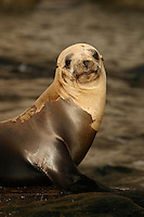 Guadalupe Fur Seals [Arctocephalus townsendi] were at one point thought to be too few to avoid extinction.  A sizeable population can now be found off Guadalupe Island, Mexico.