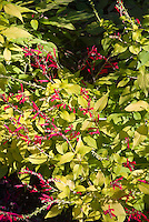 Salvia elegans 'Golden Delicious' in red flowers and yellow gold leaves in autumn, pineapple sage