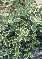 Pineapple Mint, Variegated: Mentha suaveolens 'Variegata'
