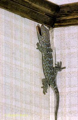 GK24-001x  Tokay Gecko - climbing wall -  Gekko gecko