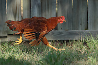 Rhode Island Red chasing a grasshopper, just out of frame..
