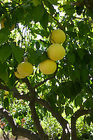 Ripe grape fruit is hanging on tree
