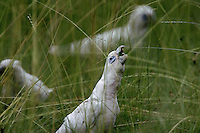Kakadu Wildlife includes Bare Eyed Cockatoos eating spring grasses after the rains.