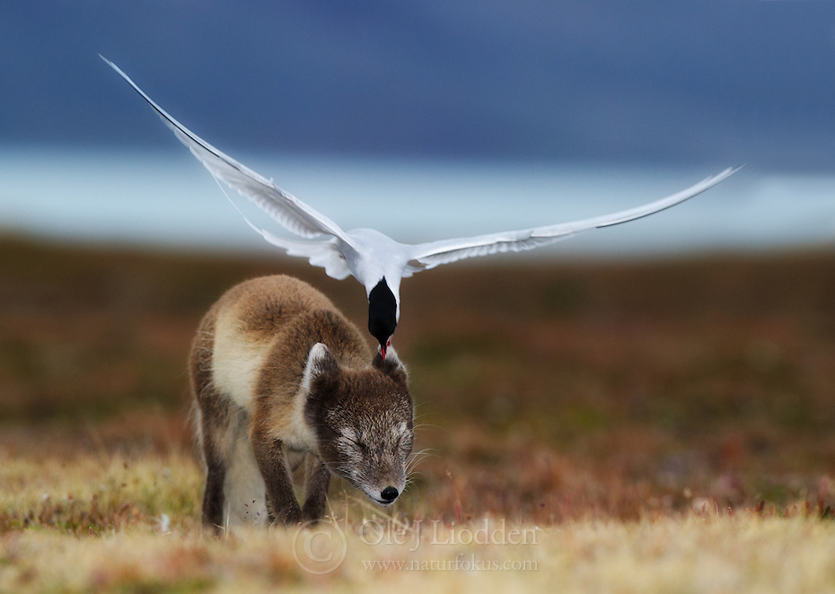 Arctic Fox in Spitsbergen, Svalbard<br /> -<br /> THIS IMAGE IS ONLY AVAILABLE AS A LIMITED EDITON PRINT (ONLY 30 COPIES).<br /> http://www.naturfokus.com/project/limited-edition-202-arctic-enemies/<br /> -