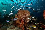 East Indonesia, Raja Ampat,coral bommie  with sea fans and fusiliers