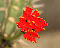 The Fairchild Tropical Botanic Gardens has a section devoted to plants from the US Western desert area. I spotted a sample growth of cactus and imaged this beautiful red cactus flower. It was about ten days before Christmas and this flowe had a festive look.