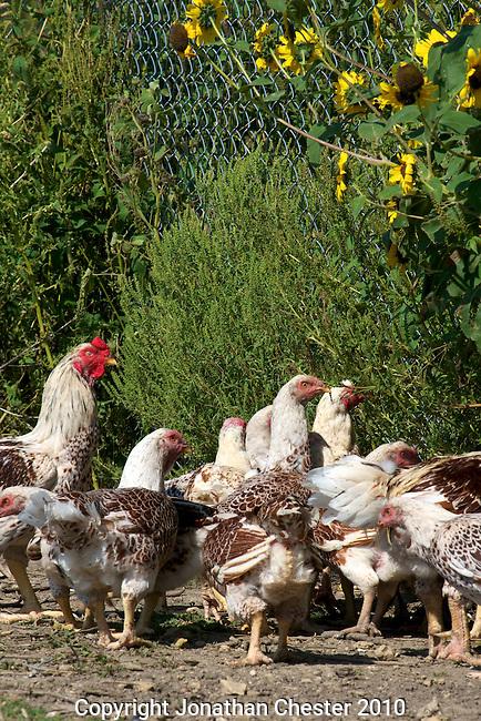 Heartland,Good Shepherd, Heritage Turkeys and Chickens