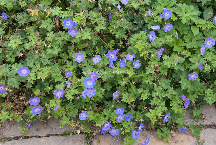 Geranium Rozanne = Gerwat AGM in blue flowers, spreading in garden