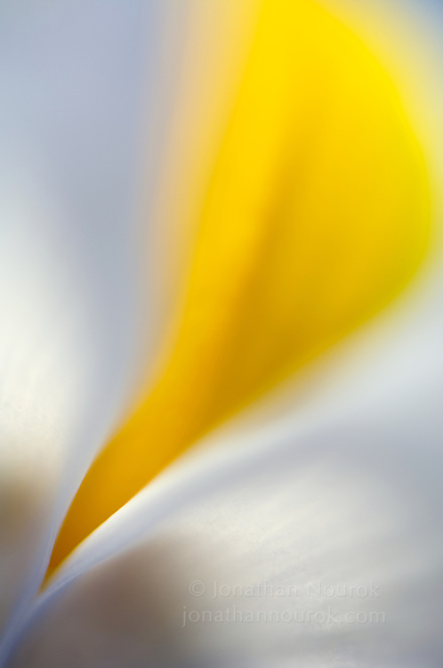 close-up of a white iris flower