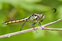 389180003 a wild female great blue skimmer libellula vibrans a large odonate in the sam houston national forest san jacinto county texas
