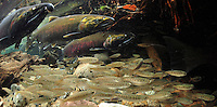 Coho Salmon (with Smolts)<br />