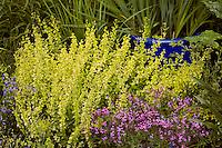 Golden oregano, Origanum vulgare 'Aureum' low shrub herb in garden with pink flower Pelargonium 'Little Carmine'