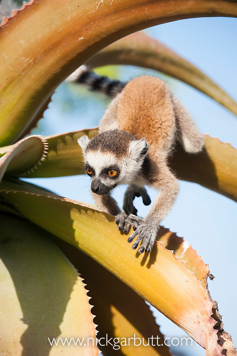 Infant Ring-tailed Lemur (Lemur catta) climbing on Aloe in spiny forest. Anjampolo Forest, southern Madagascar.