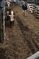 worker herds cattle into sales area of livestock auction.