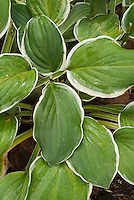 Hosta decorata variegated foliage perennial plant with white-edged green leaves