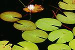 Lily pads, Okavango Delta, Botswana, DD