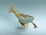 Hybrid African clawed frog, Silurana sp.  Native to sub-Saharan Africa, clawed frogs were exported worldwide in the 1940s and 1950s for use in human pregnancy tests, and were later sold widely as pets.  Feral populations are now established in many countries, including the United States, where they are a threat to native amphibians and fish.  Especially large populations exist in California, preying on endangered California red-legged frogs, Rana aurora draytonii, and endangered unarmored threespine sticklebacks, Gasterosteus aculeatus williamson.  Recent evidence suggests the chytrid fungus that is currently decimating frog populations around the world originated in Africa and was spread by these frogs.