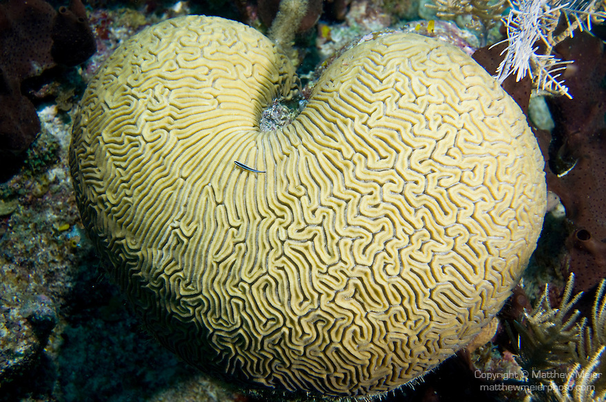 Southwest Caye Wall Dive Site, Glover's Reef Marine Reserve, Belize, Central America; a Neon Goby (Gobiosoma oceanops) sits atop a heart shaped Grooved Brain Coral (Diploria labyrinthiformis) growing on the edge of the coral reef , Copyright © Matthew Meier, matthewmeierphoto.com All Rights Reserved