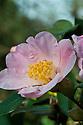 Camellia x Williamsii 'Burnoose', late February.