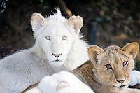 Lion cubs at Seaview Lion Park, Jeffreys Bay, South Africa. Photo: Joli
