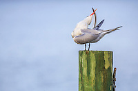 Royal Tern preening on a dock in Duck NC.