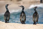La Jolla Cove, La Jolla, California; Brandt's Cormorant (Phalacrocorax penicillatus) birds standing on the rocky shoreline displaying breeding plumage