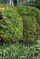 Boxwood and Ivy in shade
