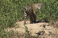 Wild Jaguar walking along the tall grass