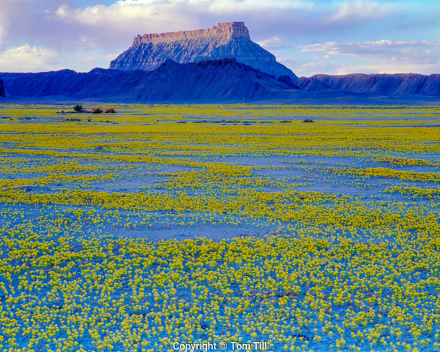 Feilds of bee plant and Factory Butte, Proposed San Rafael Swell Wilderness, Utah, Yellow beeplant, Clome Lutea, Copious flowers from heavy rains and snow, evening