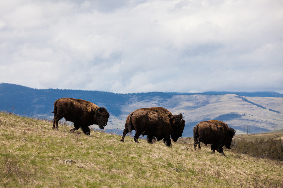 Three bison gallop down a grassy hillside in the National Bison Range in Montana.