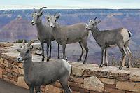 GRAND CANYON MT SHEEP