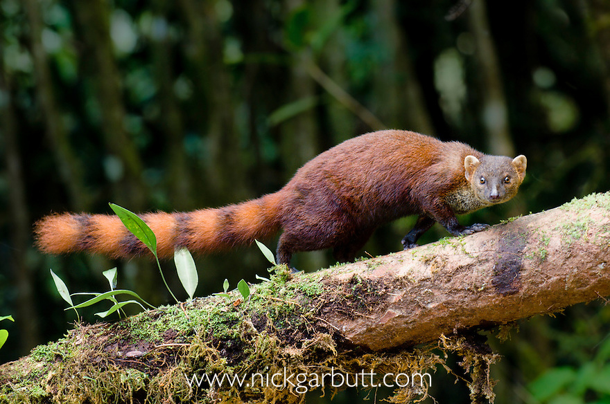 Adult Eastern Ring-tailed Vontsira (Galidia elegans elegans) (formerly Eastern Ring-tailed 'Mongoose') climbing fallen branch on rain forest floor. Marojejy National Park, Madagascar.