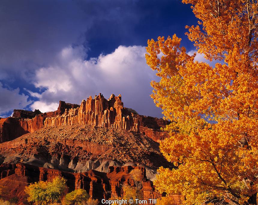 Autumn Cottonwoods at the Castle, Capitol Reef National Park, Utah    Populus fremontii