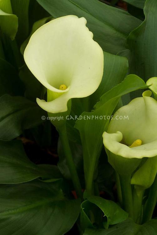 Zantedeschia (creamy white) Calla lily lilies