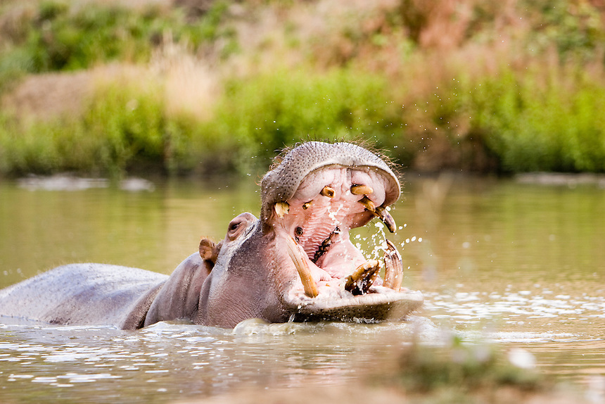 Hippopotamus baring its teath as it comes up out of the water.