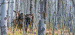 Moose and calf, Grand Teton National Park, Wyoming
