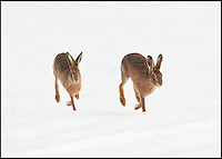 BNPS.co.uk (01202 558833)<br /> Pic: AdamTatlow/BNPS<br /> <br /> Hares in the snow.<br /> <br /> Cotswold gamekeeper shoots amazing pictures of British wildlife - without the aid of long lenses and elaborate techniques.<br /> <br /> The incredible photos may look like they have been shot from miles away - but amazingly Adam Tatlow is actually just feet away from his wild subjects.<br /> <br /> The 46-year-old's affinity with nature has allowed him to get up close and personal with some of the UK's most endearing wildlife.<br /> <br /> Adam's trusty camera is never far from his side as he goes about his work as a gamekeeper on an estate in the Cotswolds countryside.<br /> <br /> He has built up a stunning portfolio of snaps that lift the lid on rarely-seen birds and animals found in forests throughout the country.<br /> <br /> Adam's subjects have included timid fox cubs, bounding hares, inquisitive hedgehogs and colourful kingfishers.<br /> <br /> He is so at one with nature that he knows how to call animals to him, and often gets within 30ft of them.