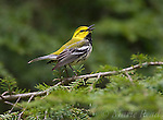 Black-throated Green Warbler (Dendroica virens), male in breeding plumage, singing from hemlock branch, New York, USA