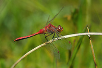 362710001 a wild male cherry-faced meadowhawk sympetrum internum  perches on a grass stem near along the owens river benton crossing road mono county california