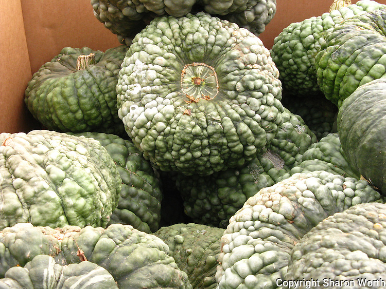 All pumpkins are gourds, but not all gourds are pumpkins.  A green offering at Pumpkin Depot.