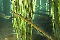 Große Schlangennadel, zwischen Seegras, Entelurus aequoreus, snake pipefish, Syngnathidae, Seenadeln, pipefishes