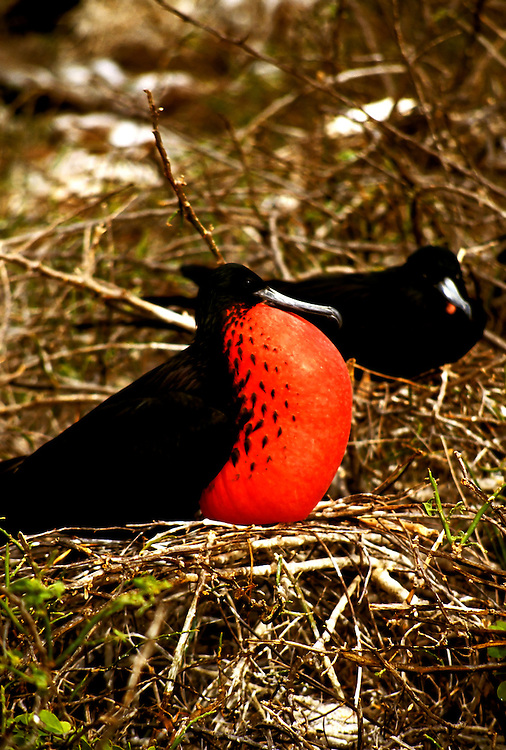 Ecuador: Galapagos..Frigate Bird..Photo Copyright Lee Foster, 510/549-2202, lee@fostertravel.com, www.fostertravel.com...Photo #: galapa104