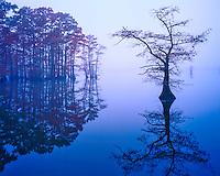 Bald Cypress in Fog, Reelfoot Lake National Wildlife Refuge, near Mississippi River, Tennessee
