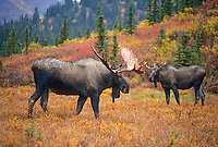 Young bull moose eyes mature male from a distance, autumn tundra and boreal forest, Denali National Park, Alaska