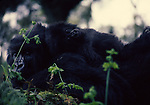 Mountain gorilla female with young on back