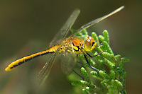 362690001 a wild immature male black meadowhawk dragonfly sympetrum danae perches in a fir tree along green creek in the eastern sierras near bridgeport mono county califorina united states