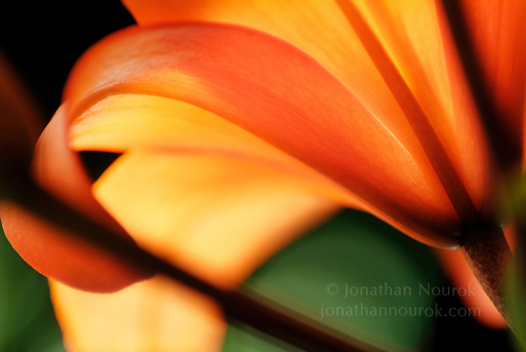 close-up of an Asiatic lily - commercial/editorial licensing for this image is available through: http://www.gettyimages.com/detail/200136230-001/The-Image-Bank