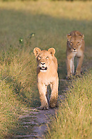 Two African Lions walking on a path, Botswana.